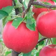 Саженцы яблони сорт Богемия фото