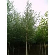Саженцы ивы, Саженцы лиственных деревьев фото