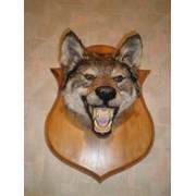 Чучело волка,.хотничий трофей, предмет декора интерьер фото