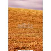 Уборка зерновых комбайнами: John Deere, Case, New Holland, Class, Massey Ferguson , Енисей. фото