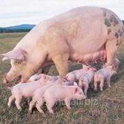 Премикс для свиноматок в период гестации 2,5% фото