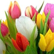 Тюльпаны доставка по Алматы фото