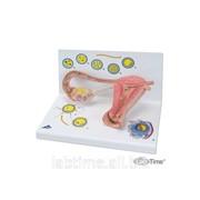 Модель стадий оплодотворения и развития эмбриона 1000320 фото