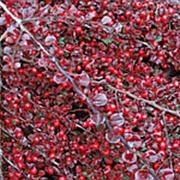 Кизильник крошечный (Cotoneaster perpusillus) фото