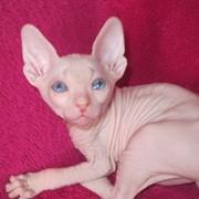 Голубоглазые котята донского сфинкса фото