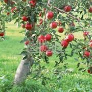 Яблоки садовые фото