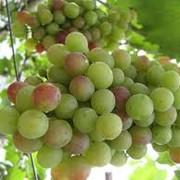 Производство виноградного сусла фото