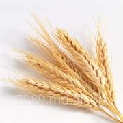 Купить пшеницу,Продать пшеницу в Кишиневе фото