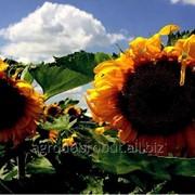 Семена подсолнечника Ягуар XL фото