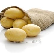 Картофель семенной Примадонна Элита фото