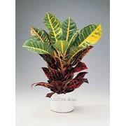 Кодиеум Codiaeum variegatum Petra фото