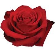 Розы оптом из Эквадора фото