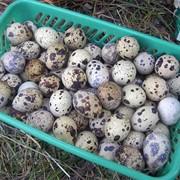 Домашнии перепелиные яйца фото