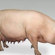 Большая Белая чистопородная порода свиней фото