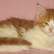 Кошки мейн-куны фото