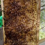 Продам пчелопакеты карпатской породы фото
