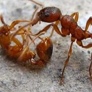 Уничтожение муравьев г. Никополь Днепропетровская обл. фото
