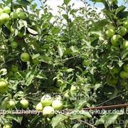 Яблоня Белый налив фото
