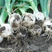 Семена лука ВайтМэджик F1 200 шт. фото