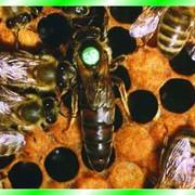 Пчеломатки, Купить Пчеломатки Украина, Пчеломатки продажа Украина Ровно, купить, цена, фото. фото