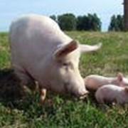 Свиньи живым весом фото