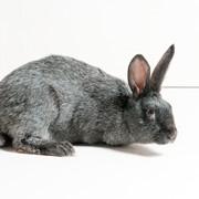 Кролики породы Серебристый фото