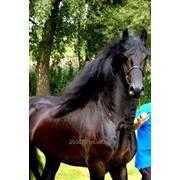 Фризская лошадь 5 лет - 165 см, Звезда фото