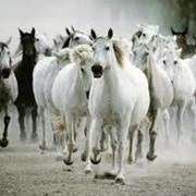 Разведение лошадей. фото