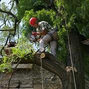 Кронирование деревьев фото