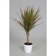 Драцена маргината Bicouler -- Dracaena marginata Bicouler фото