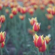 Тюльпан Дау Джонс фото