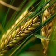 Семена ячменя ЮКАТАН фото