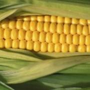 Кукуруза купить Украина фото