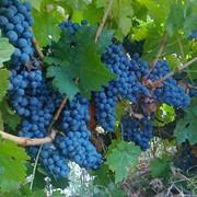 Виноград винный фото