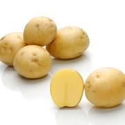Картофель Сатина фото
