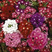 Семена цветов Вербены Крупноцветковая F1 0,1 г. смесь фото