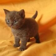 Котята окрасов: шоколадный, лиловый, голубой, голубой с белым и лиловый с белым. фото