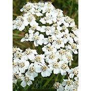 Тысячелистник обыкновенный (Achillea millefolium) фото