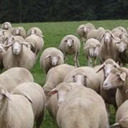 Овцы,овца, Немецкая овца Мериноланд, продажа овец, овцы в Украине, купить овец в большом количестве, недорого овцы в Украине, продажа животных, овцы племенные фото