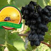 Виноград Bukhara Agro Export фото
