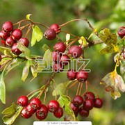 Плоды боярышника оптом и в розницу фото
