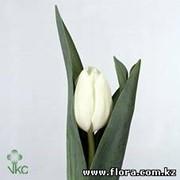 Тюльпан Topwhite фото