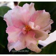 Pink Pearls (Пинк Пёлс) - сел.Lyndon Lyon Greenhouses/Sorano фото
