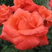 Розы оптом выращенные в Украине, Аскания фото