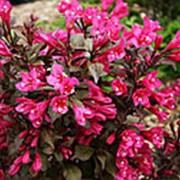 Вейгела цветущая 'Минор Блэк' (Weigela florida 'Minor Black'®) фото