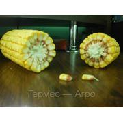 Cемена кукурузы Любава 279 фото