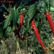 Перец кайенский, Capsicum frutescens L. фото
