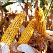 Насіння кукурудзи ДКС 5143 ФАО 430 фото