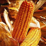 Насіння кукурудзи ДКС 4964 ФАО 390 фото