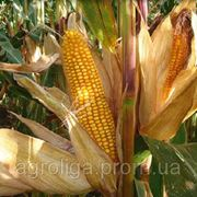 Насіння кукурудзи ДКС 3871 ФАО 280 фото